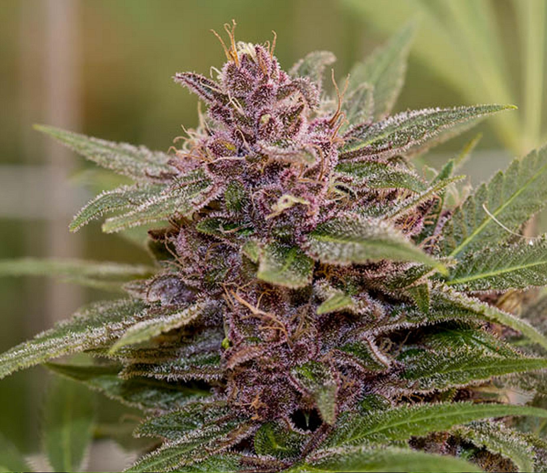 purple marijuana bud 28 - photo #27